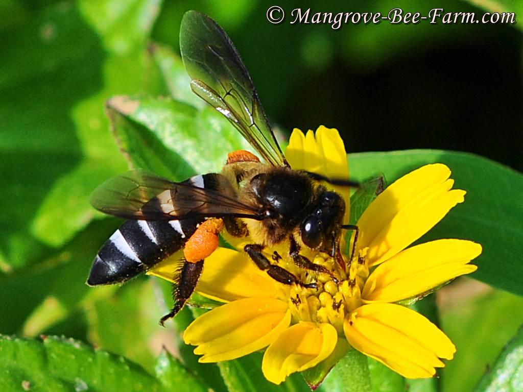 Pszczoła Olbrzymia. Apis Dorsata. https://pl.wikipedia.org/wiki/Pszczo%C5%82a_olbrzymia