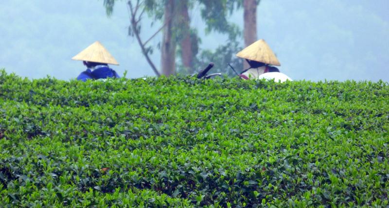 Północny Wietnam. Prowincja Nghệ An. Herbata i Ryż.